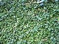 Plantas trepadoras en Segovia.jpg