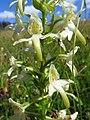 Platanthera chlorantha 15.jpg