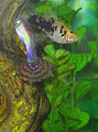 Platy With Guppy 8.jpg