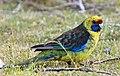Platycercus caledonicus -Tasmania -side-8.jpg