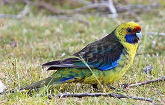 Green rosella - Male in Tasmania