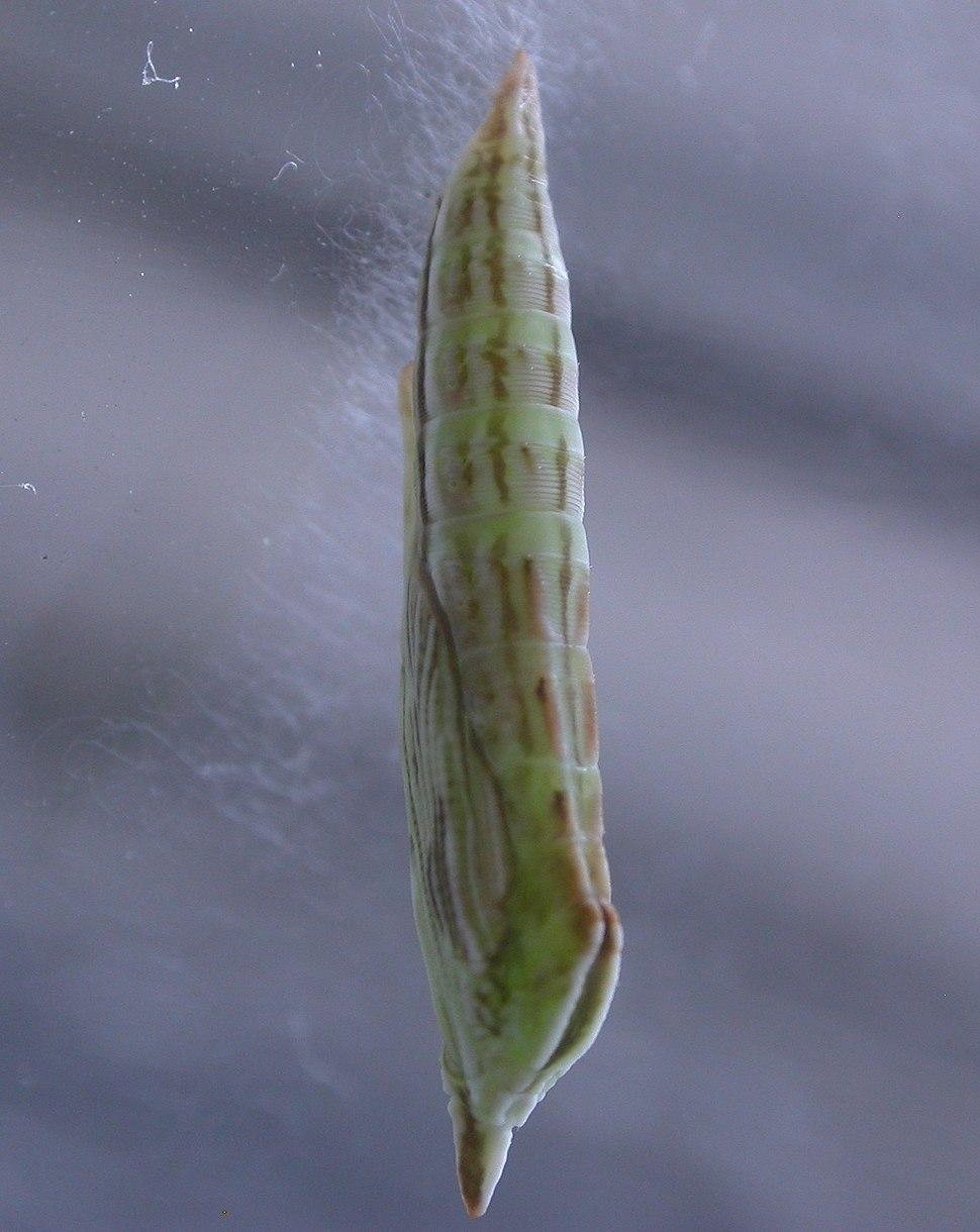 Platyptilia tetradactyla pupa