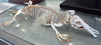 Platypus skeleton
