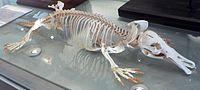 Platypus skeleton