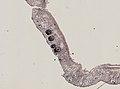 Pleioplana atomata (YPM IZ 073814) 56.jpeg