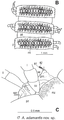 Plos One e105877 Figure 5-B Anbarrhacus adamantis.png