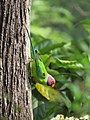 Plum Headed Parakeet IMG 3397.jpg