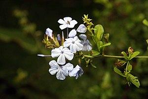 Cape leadwort (Plumbago auriculata)