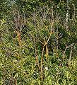 Pod lipskiem kporost na krzewie 17.07.09 p1.jpg