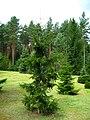Podlaskie - Suprasl - Kopna Gora - Arboretum - Picea orientalis 'Atrovirens' - plant.JPG