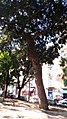 Podocarpus Macrophyllus, Piazza Cavour, Napoli (Terza foto).jpg