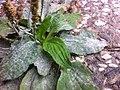 Podosphaera plantaginis1.JPG
