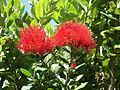 Pohutukawa tree flower metrosideros excelsa.jpg