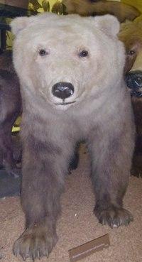 ホッキョクグマとヒグマの交雑種(ロスチャイルド動物学博物館) 上記のD... ハイイログマとホッ