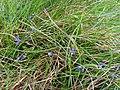 Polygala serpyllifolia Cap Sizun.jpg