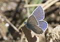 Polyommatus icarus - Çokgözlü mavi 04.jpg