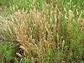 Polypogon monspeliensis habit6 (7405401522).jpg