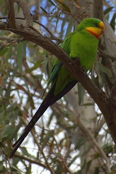 File:Polytelis swainsonii -Canberra, Australia-8a (1).jpg