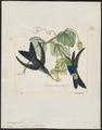 Polytmus venustus - 1820-1860 - Print - Iconographia Zoologica - Special Collections University of Amsterdam - UBA01 IZ19100155.tif