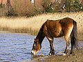 Pony drinking from the mill dam beaulieu.JPG