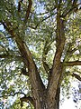 Populus deltoides (5027341520).jpg