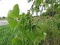 Populus deltoides SCA-03469.jpg