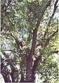 Populus deltoides pode3 003 pvp.jpg