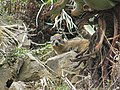 Port St Johns Rock Hyrax - panoramio.jpg