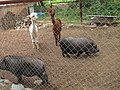 Pot-bellied pigs and Alpacas in the Zoo of Yuzhno-Sakhalinsk.JPG