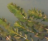 PotamogetonPerfoliatus.jpg