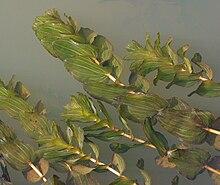 Potamogeton perfoliatus - Wikipedia