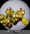 Potamogeton perfoliatus sl21.jpg