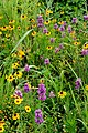 Prairie wildflowers (6991617141).jpg