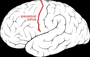 Precentral sulcus - Precentral sulcus of the human brain.
