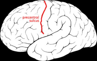 Precentral sulcus - Precentral sulcus of the human brain.