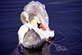 Pretty Swan Schaalseeschwan.jpg