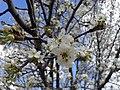 Prunus cerasifera.jpg