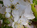 Prunus domestica Flores 2010 4 01 DehesaBoyalPuertollano.jpg
