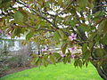Prunus nipponica Rósakirsiber.jpg