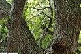 Prunus x subhirtella Shidare Higan 1zz.jpg