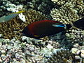 Pseudodax moluccanus Maldives.JPG