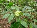Ptelea trifoliata Kiev1.jpg