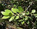 Pterocelastrus tricuspidatus, loof en blomknoppe, Jan Celliers Park.jpg