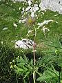 Pulsatilla alpina subsp. cantabrica, J. Garmendia 2865.JPG