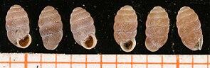 Moos-Puppenschnecke (Pupilla muscorum)