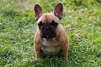french bulldog wiki french bulldog wikipedia 4496