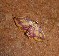 Purple-bordered Gold. Idaea muricata - Flickr - gailhampshire.jpg