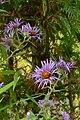 Purple Asters (2919816073).jpg