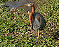 Purple Heron (Ardea purpurea) in Hodal W IMG 6273.jpg