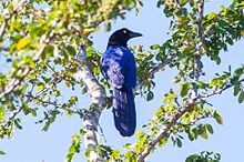 Purplish-backed Jay (Cyanocorax beecheii) (8079391927).jpg